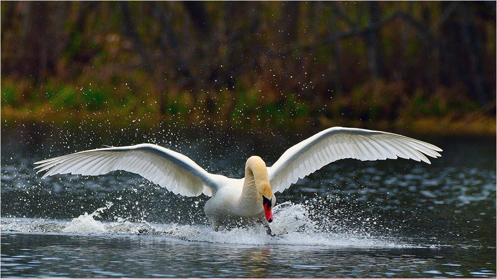 Лебедь в Смоленском Поозерье /Фото: Геннадий Дубино