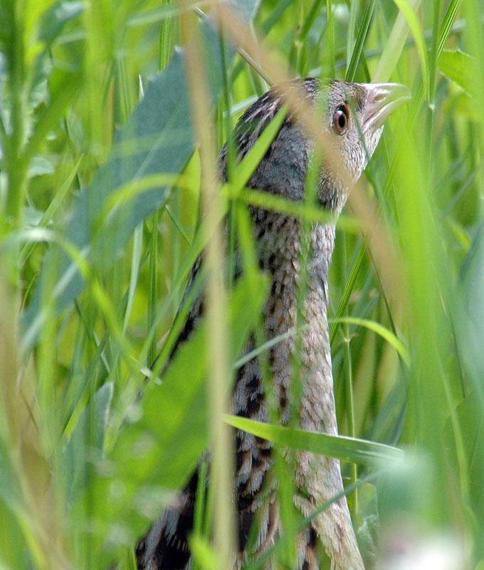 Коростель в зарослях травы / Фото: wikipedia.org, бёрдинг